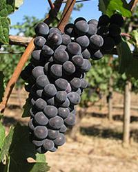 Chehalem_pinot_noir_grapes.jpg